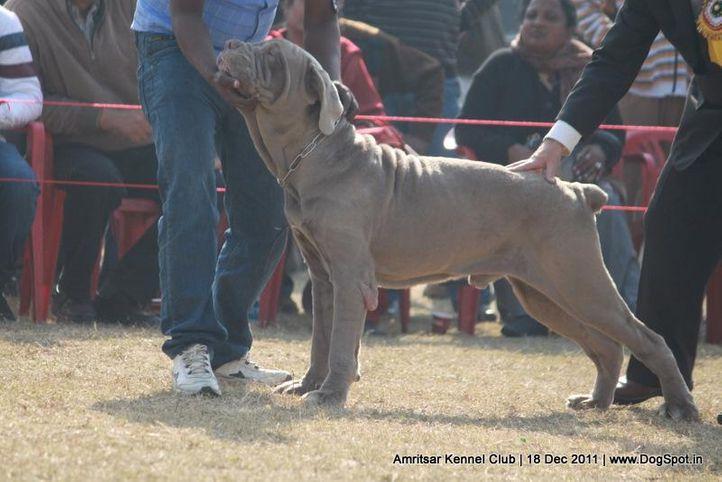 ex-215,mastiff,sw-46,, TRIGGER, Neapolitan Mastiff, DogSpot.in