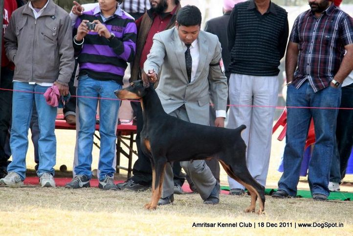doberman,ex-196,sw-46,, ARG GR CH MEX ZARELA DE BLACK SHADOW, Doberman Pinscher, DogSpot.in