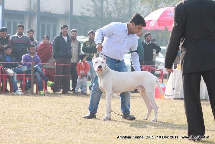 dogo argentino,sw-46,, Amritsar 2011, DogSpot.in