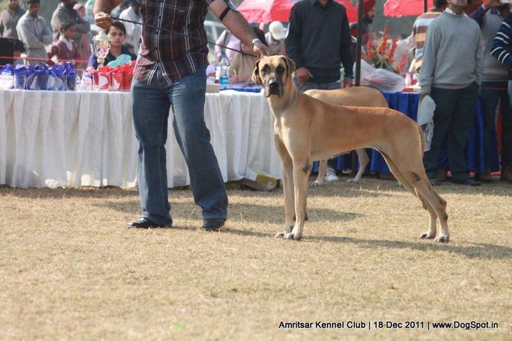 great dane,sw-46,, Amritsar 2011, DogSpot.in