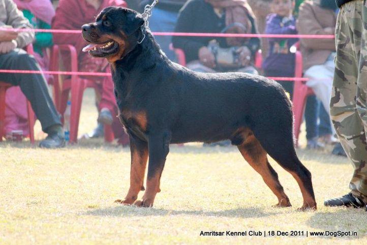 rottweiler,sw-46,, Amritsar 2011, DogSpot.in