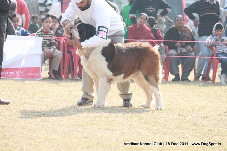 st bernard,sw-46,, Amritsar 2011, DogSpot.in