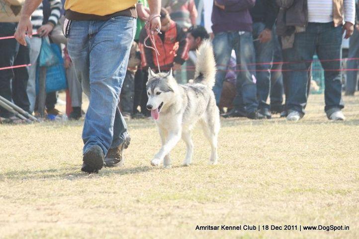 siberian,sw-46,, Amritsar 2011, DogSpot.in
