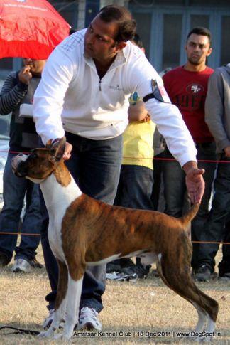 boxer,sw-46,, Amritsar 2011, DogSpot.in