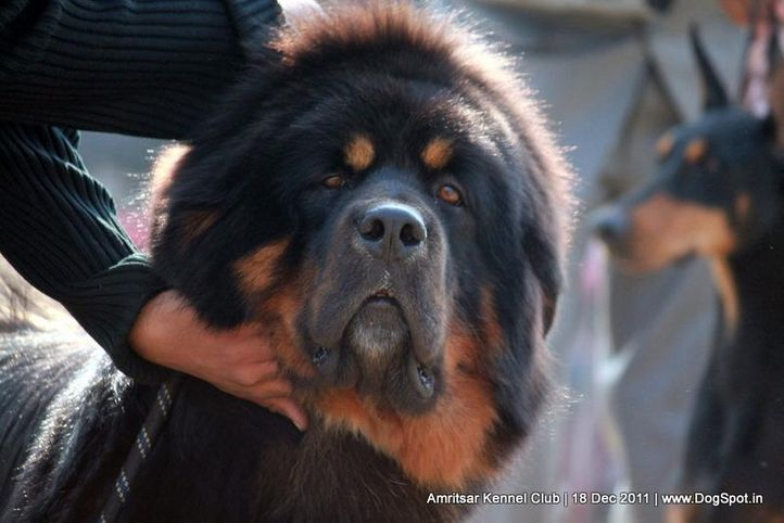 ex-259,sw-46,tibetian mastiff,, Colt Hui Chang, Tibetan Mastiff, DogSpot.in
