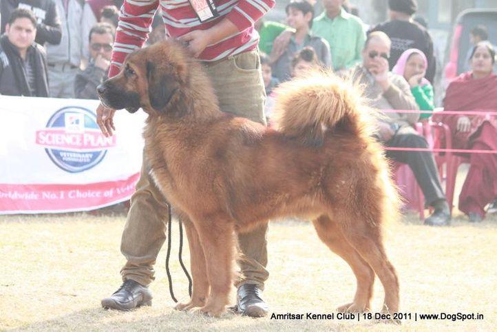 ex-262,sw-46,tibetian mastiff,, TIGER, Tibetan Mastiff, DogSpot.in