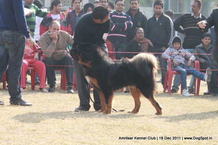 sw-46,tibetian mastiff,, Amritsar 2011, DogSpot.in