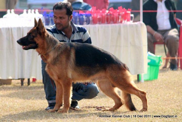 ex-272,gsd,sw-46,, CRUISE OF RISING STAR, German Shepherd Dog, DogSpot.in