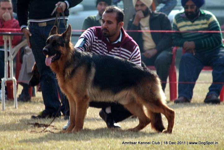 ex-273,gsd,sw-46,, BISCOTTO-DE-DOMUS-DIDACUS, German Shepherd Dog, DogSpot.in