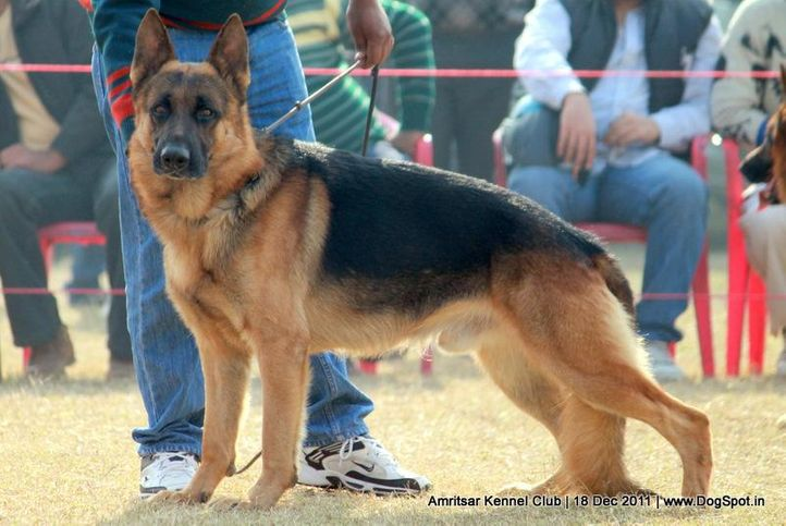 ex-274,gsd,sw-46,, ROCKY VON PATTI, German Shepherd Dog, DogSpot.in