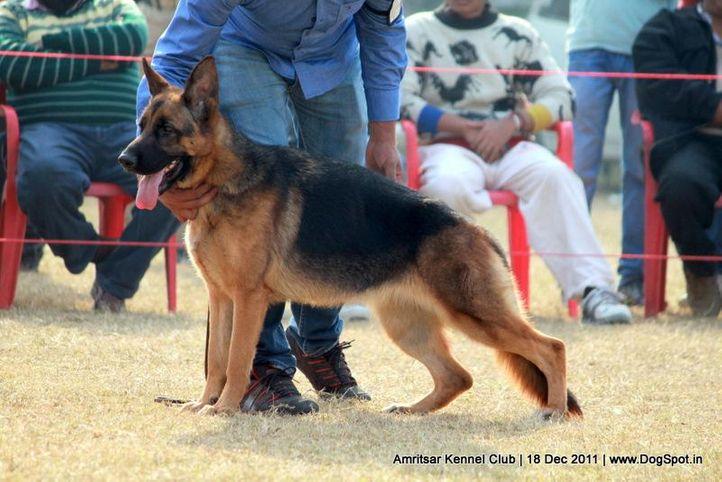 ex-277,gsd,sw-46,, OMIRA OF SUPERSTAR, German Shepherd Dog, DogSpot.in