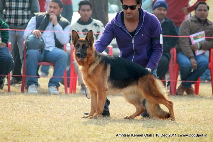 ex-281,gsd,sw-46,, RONIA OF SUPERSTAR, German Shepherd Dog, DogSpot.in