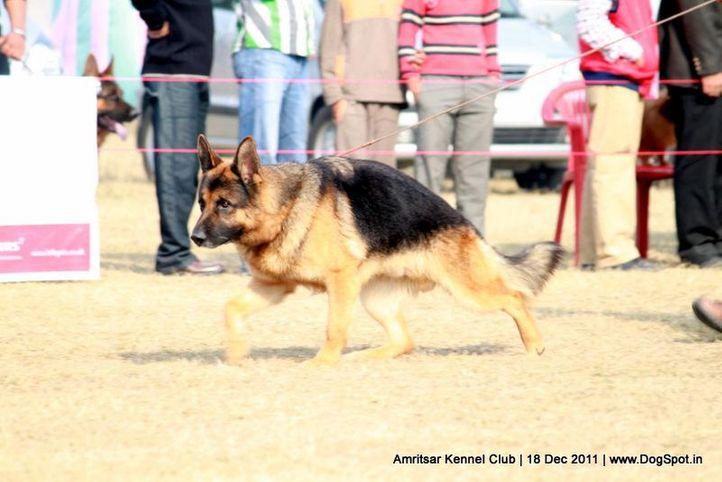 ex-283,gsd,sw-46,, PUMA TOPOLOVNICKI, German Shepherd Dog, DogSpot.in