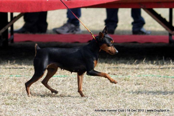 ex-6,minpin,sw-46,, RIA, Miniature Pinscher, DogSpot.in