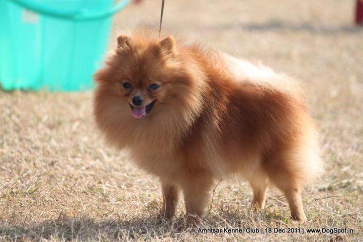 ex-12,pomeranian,sw-46,, MARSHAL'S NANCY, Pomeranian, DogSpot.in