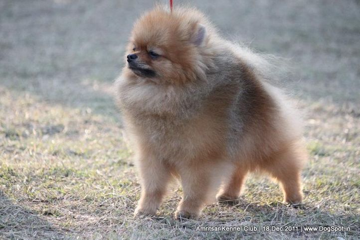 ex-13,pomeranian,sw-46,, CUTE BOY OF NAAZ, Pomeranian, DogSpot.in