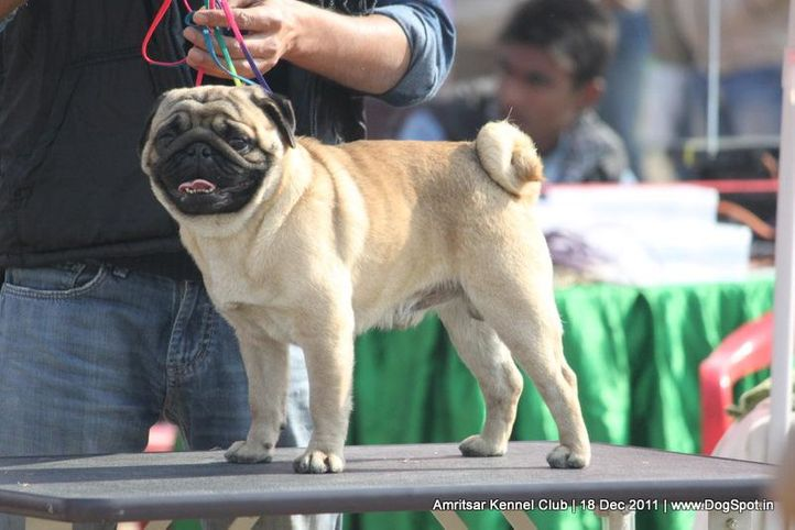ex-22,pug,sw-46,, PINTOO'S FINAL TARGET, Pug, DogSpot.in