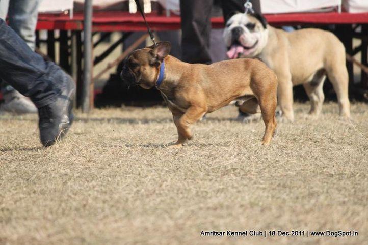 bulldog,sw-46,, Amritsar 2011, DogSpot.in