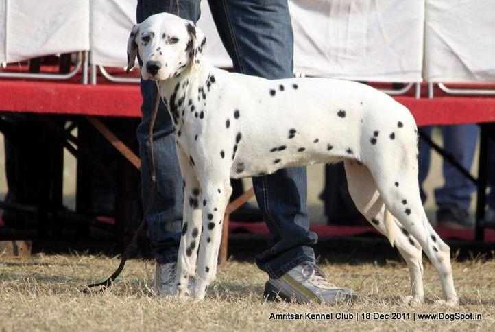 dalmatian,sw-46,, Amritsar 2011, DogSpot.in