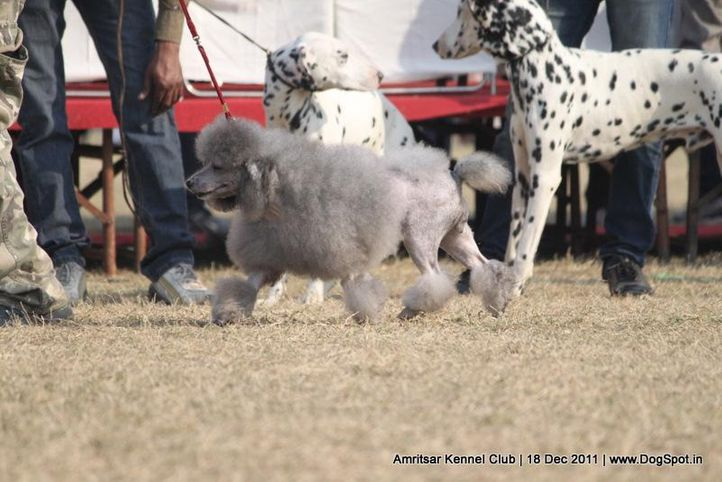 poodle,sw-46,, Amritsar 2011, DogSpot.in