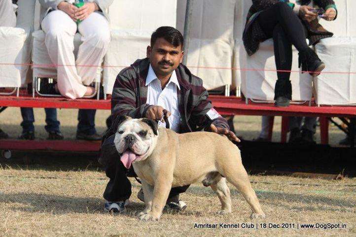 bulldog,ex-60,sw-46,, PETER, Bull Dog, DogSpot.in