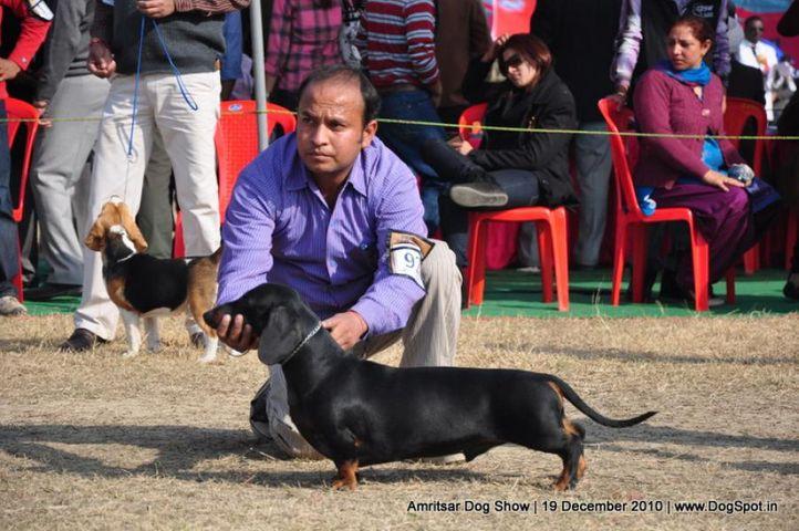 dachshund,, Amritsar Dog Show 2010, DogSpot.in