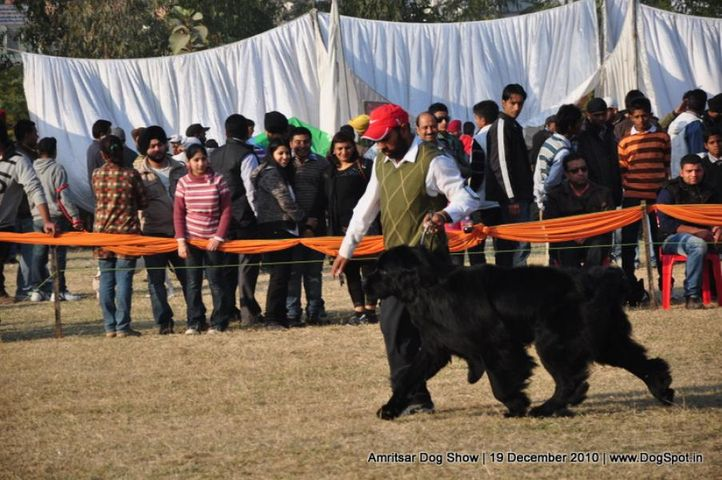 newfoundland,, Amritsar Dog Show 2010, DogSpot.in