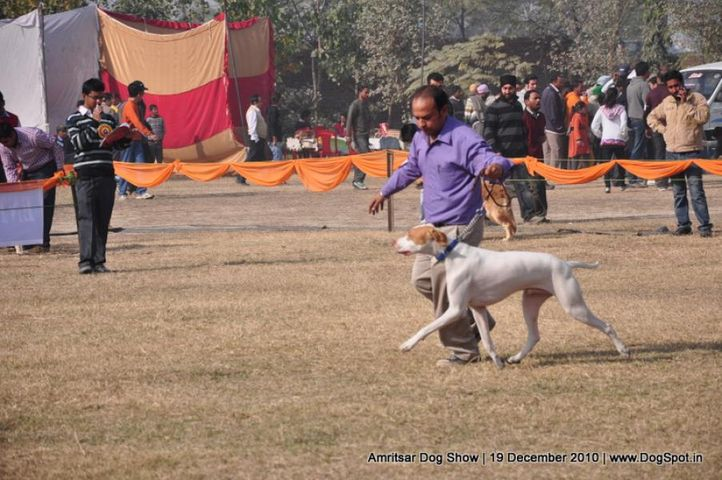 pointer,, Amritsar Dog Show 2010, DogSpot.in