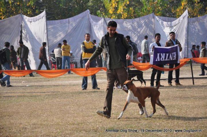 boxer,, Amritsar Dog Show 2010, DogSpot.in