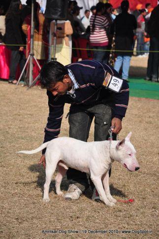 bull terrier,ex-49,, Amritsar Dog Show 2010, DogSpot.in