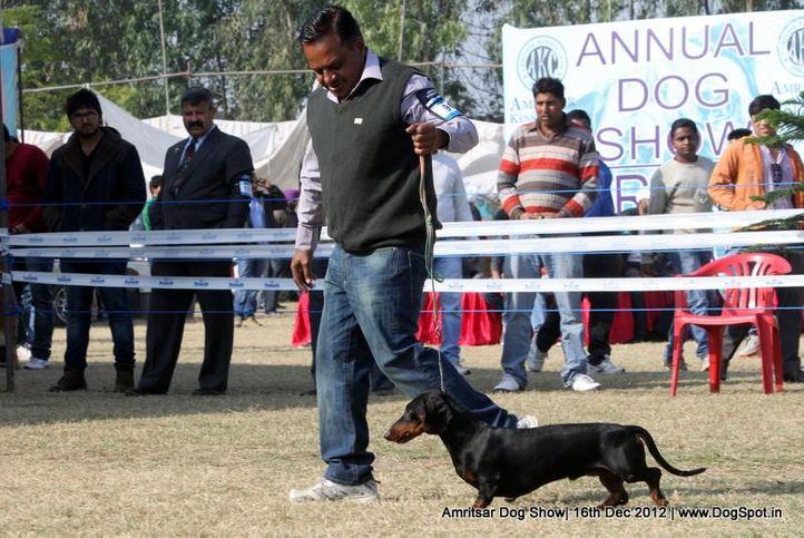 dachshund,ex-90,sw-65,, Rosa Of Dadhwal, Dachshund Standard- Smooth Haired, DogSpot.in