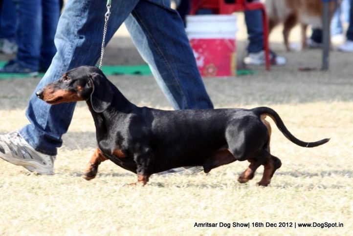 dachshund,ex-90,sw-65,, Rosa Of Dadhwal, Dachshund Standard- Smooth Haired, DogSpot.in