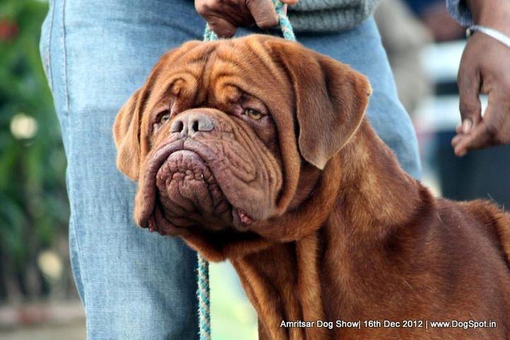dogue de bordeaux,ex-167,sw-65,, BUGANA'S AJASTIC RED, Dogue De Bordeaux, DogSpot.in