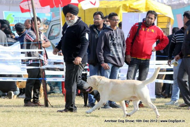golden retriever,sw-65,, Amritsar Dog Show 2012, DogSpot.in
