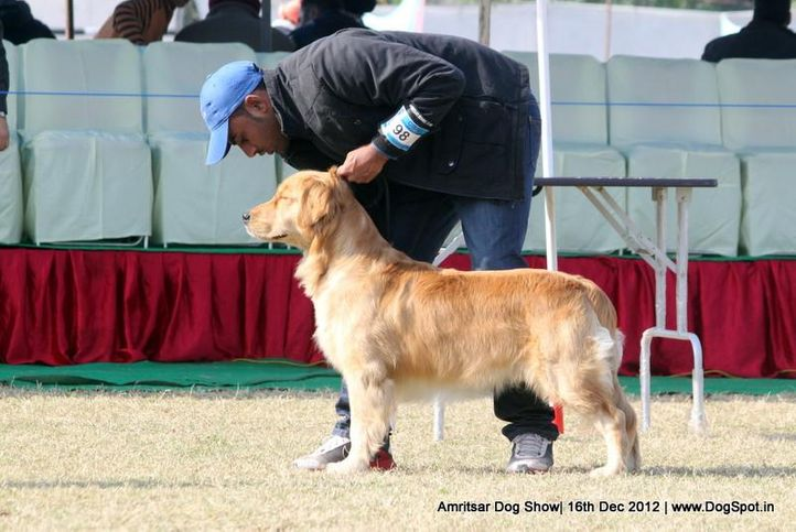 ex-98,golden retriever,sw-65,, SULTAN, Golden Retriever, DogSpot.in