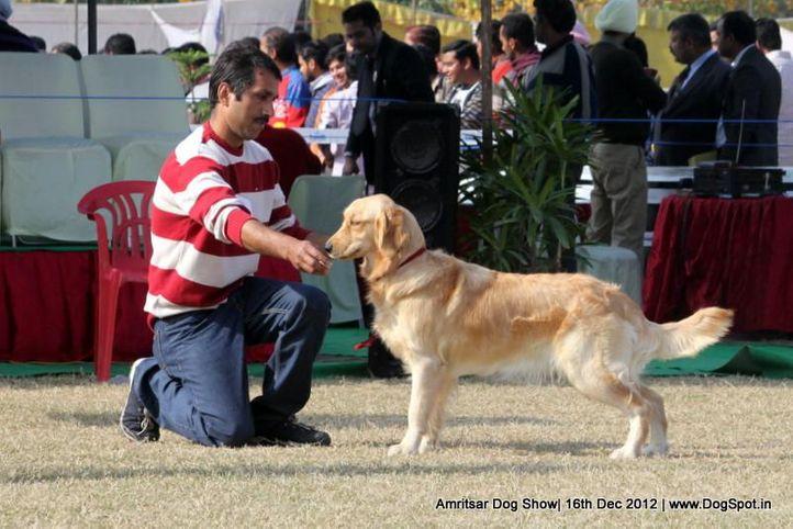 golden retriever,sw-65,, Amritsar Dog Show 2012, DogSpot.in