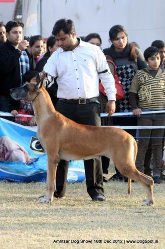 great dane,sw-65,, Amritsar Dog Show 2012, DogSpot.in