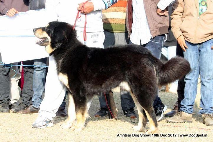 ex-250,himalayan sheep dog,sw-65,, Roburst, Himalyan Sheep Dog, DogSpot.in