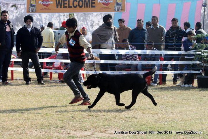 ex-120,labrador retriever,sw-65,, JANGRA'S HAWKS BLACKBOY, Labrador Retriever, DogSpot.in