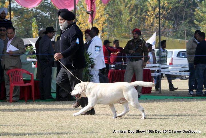 labrador retriever,sw-65,, Amritsar Dog Show 2012, DogSpot.in