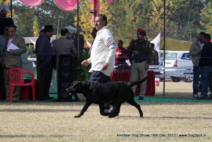 ex-113,labrador retriever,sw-65,, JANGRA'S GADA ABOUT, Labrador Retriever, DogSpot.in