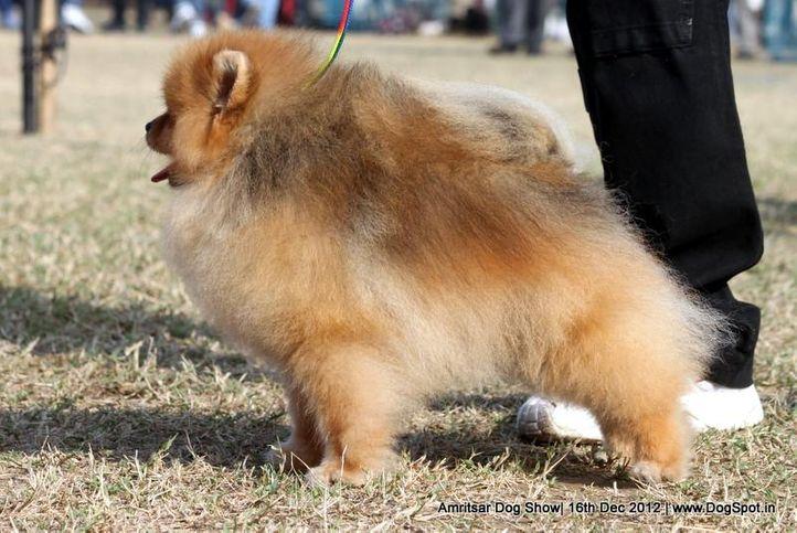 pomeranian,sw-65,, Amritsar Dog Show 2012, DogSpot.in