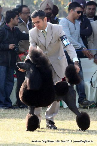 ex-68,poodle,sw-65,, ARG CH BRAZ CH URU RISING STAR'S NEW YEAR OF PANIZZI, Poodle- Standard, DogSpot.in