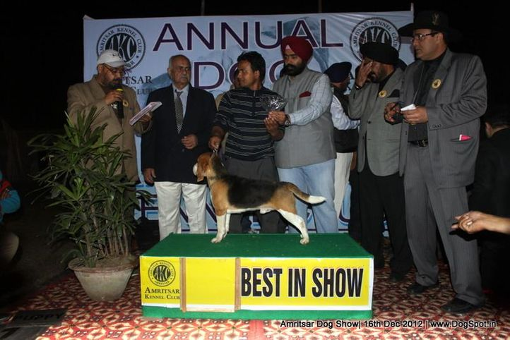 beagle,line up,sw-65,, Amritsar Dog Show 2012, DogSpot.in