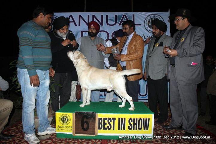 labrador retriever,line up,sw-65,, Amritsar Dog Show 2012, DogSpot.in