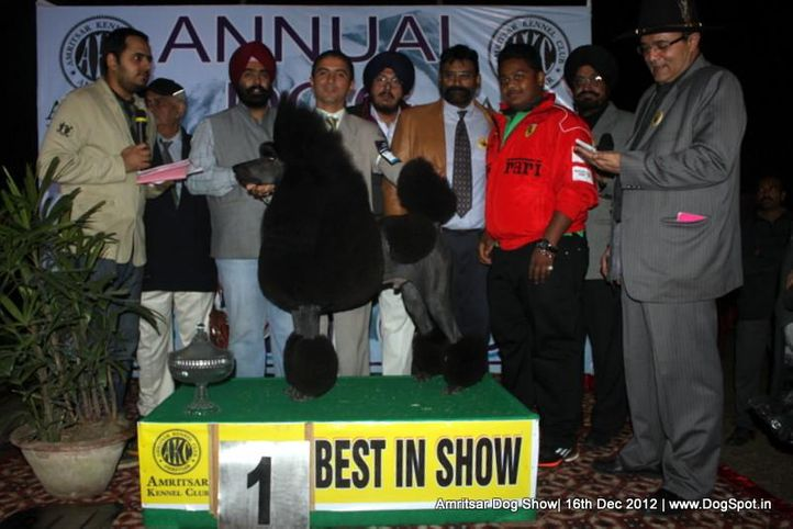 line up,poodle,sw-65,, Amritsar Dog Show 2012, DogSpot.in