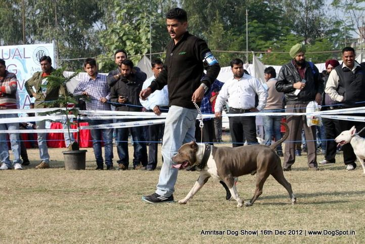staffordshire bull terrier,sw-65,, Amritsar Dog Show 2012, DogSpot.in