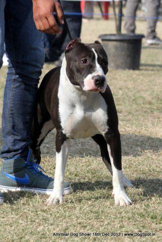 ex-55,staffordshire bull terrier,sw-65,, ZAMBA OF SHAKSHI, Staffordshire Bull Terrier, DogSpot.in