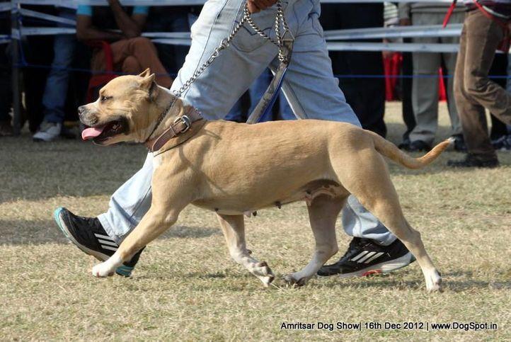 ex-58,staffordshire bull terrier,sw-65,, Bella, Staffordshire Bull Terrier, DogSpot.in
