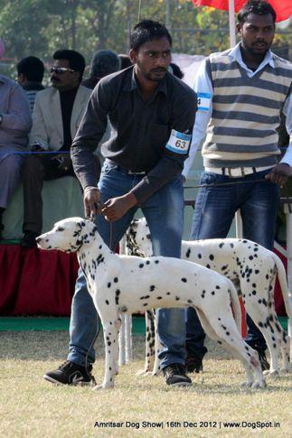 dalmatian,ex-64,sw-65,, ALICE, Dalmatian, DogSpot.in